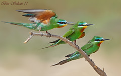 blue checked bee eaters () Tags: bird bin sultan qatar    wachers