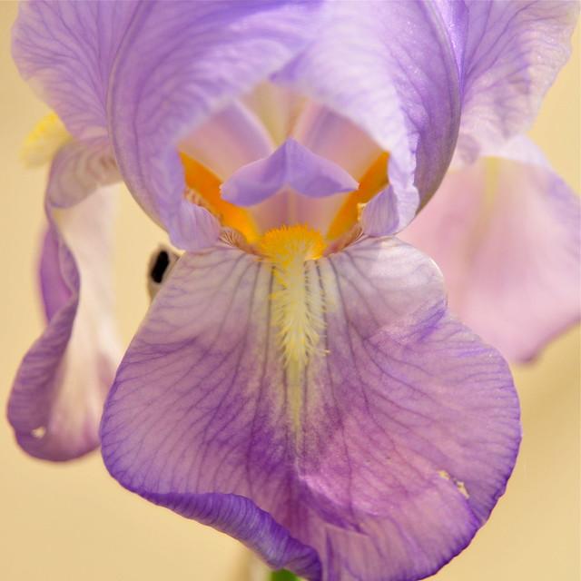 Iris Detail (DS3_8980)