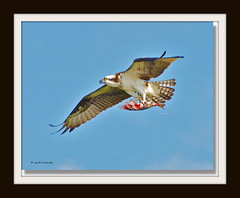 Ready (billkominsky ) Tags: blue birds cypress prey raptors ospreys