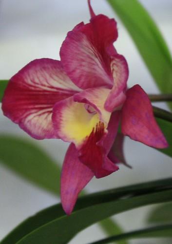 Orquídea na quinta flôr