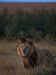 Hi There.. (Joost N.) Tags: africa sunset wild sun sunlight male look animal golden bush eyes nikon king kenya african wildlife attack lion safari mature mara angry lions papa afrika prey nikkor plains joost kenia masai beest safaris manen manes matira d700 notten flickrbigcats