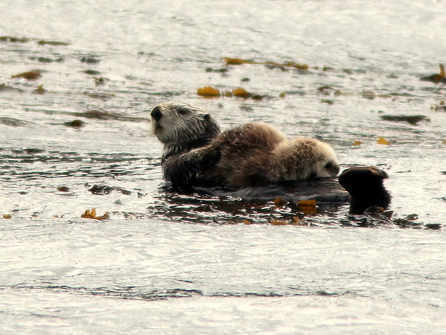 Sea Otter with pup 20110622
