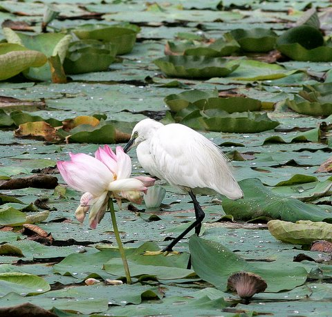 little egret with lotus lalbagh 150308