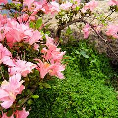 Parc de Maulévrier - Azalée rose et helxine