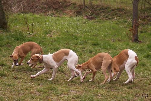 Whippets: Quentin, Anukis, Annie, Viggo, Animagi