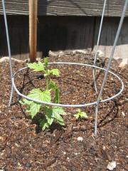 Cacade hop vine