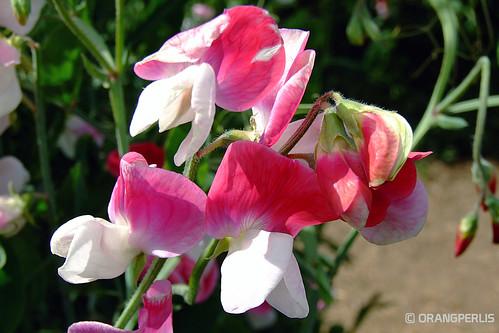 flower sweetpea theflowerfields