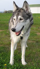 Husky (5) (pilot_micha) Tags: dog animal husky hund tier elaeropuerto bête aérodrome elanimal campodeaviación elaeródromo