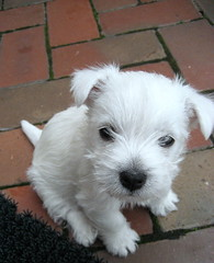 Hello Henry! (jmumma) Tags: dog brown brick green puppy canine courtyard terrier westhighlandwhiteterrier doggy puppydog