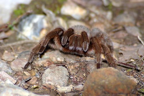 Mad Tarantula