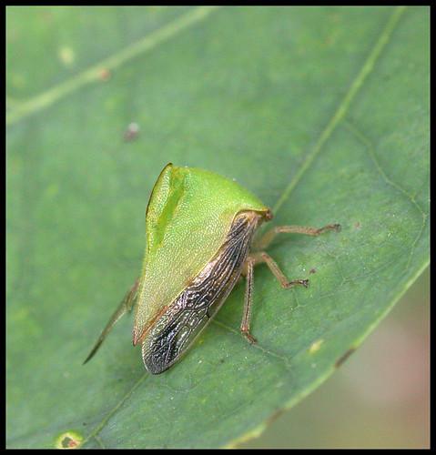 leaf-hugger