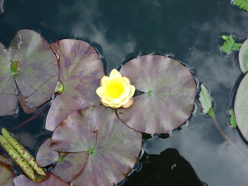 pond lilypads