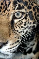 Jaguar (Pretty Kitty) (.Carter.) Tags: seattle wild animal washington bigcat wa spotted jaguar woodlandparkzoo abigfave platinumphoto natureselegantshots
