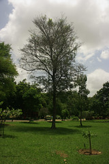 Tree in Lalbagh