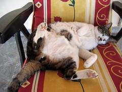 very tired (smokykater - 530k+ views) Tags: house cat canon interestingness greece müde tired katze griechenland kater stuhl gartenstuhl pelopones catnipaddicts smokykater