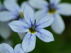 (slcook52 (Sylvia)) Tags: blue flower macro inmyyard diamondclassphotographer flickrdiamond theperfectphotographer flowersmacroworld macroflowerlovers superbmacroflowers awesomeblossoms copyrightedallrightsreserved
