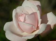 New Dawn (fotomormor) Tags: flowers roses blomster roser photofaceoffwinner pfosilver