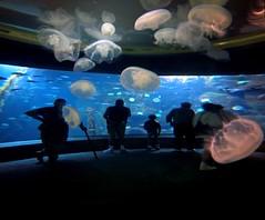 Loose jellies (Matt Abinante) Tags: oregon aquarium jellyfish northwest fishtank newport pacificnorthwest newportaquarium oregoncoastaquarium mattabinante lifetravel
