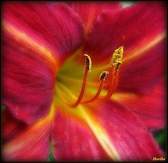 Whatever You Need (☜✿☞ Bo ☜✿☞) Tags: red flower macro garden flickr explore daylily haribo hemerocallis tinaturner firstquality flickrexplore whateveryouneed theperfectphotographer canong9 multimegashot awesomeblossoms 100commentgroup mupic