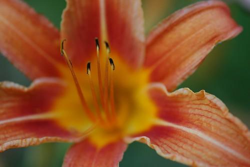 Hemerocallis, Daylily