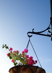 Bougainvillea Basket (Rosa Say) Tags: flowers sky hawaii bougainvillea queensmarketplace waikloaresort bigislandofhawaii