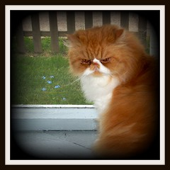 Toby (iwork4toby) Tags: red me cat persian midwest forgetmenot forget persiancat not redpersian luv2explore