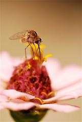 War of the worlds (Ovinek) Tags: flower nature fleur insect war slovenia worlds pollen slovenie trompe