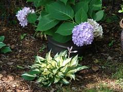 'Fire and Ice' and 'Endless Summer' (iechris) Tags: hydrangea hosta endlesssummer fireandice