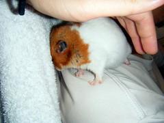 20080717-03 (kayako_) Tags: hamster pon