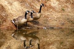 Three Amigos (The Suss-Man (Mike)) Tags: nature birds animals geese fuji goose finepix s700 thesussman theenchantedcarousel thewonderfulworldofbirds