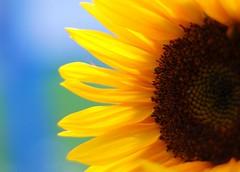 Sunny! (gardinergirl) Tags: blue toronto flower fleur yellow pet