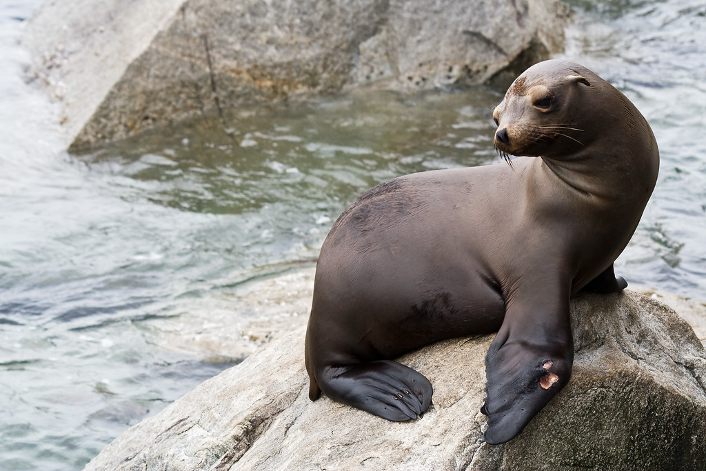 2721664696 2a8d9d6bb5 b Sea Lion