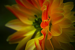 FIERY BLOOM ........... (kelp1966) Tags: flowers flower nikon kelp stunning d200 beutiful exbury catchycolorsyellow flowersandcolours nikon55200vr colourartaward colourartawards goldstaraward excellentsflowers eyeloveit simonkeeping kelp1966 wwwsimonkeepingcouk copyright2010simonkeepingemailkelp1966yahoocouk