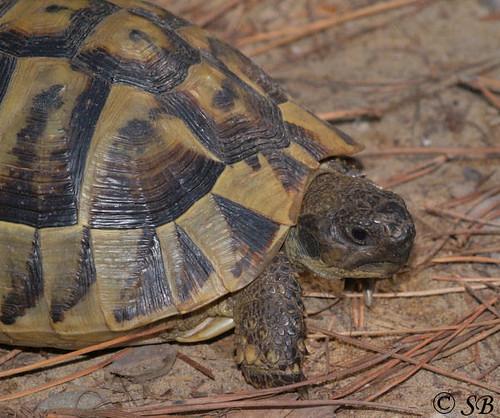 Testudinidae: Testudo hermanni (Griechische Landschildkröte)