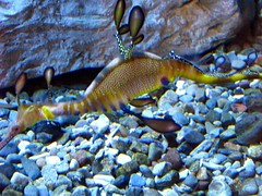 Sea dragon (Pyratqwn) Tags: california fish nature canon aquarium us sandiego powershot birch seadragon saltwater top20fish s5is pyratqwn