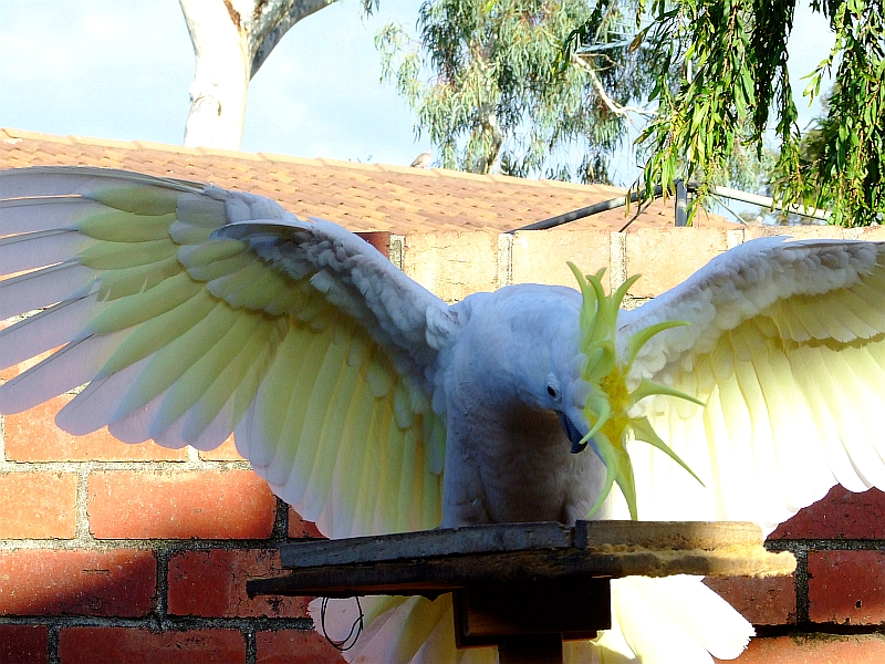 charging cockatoo