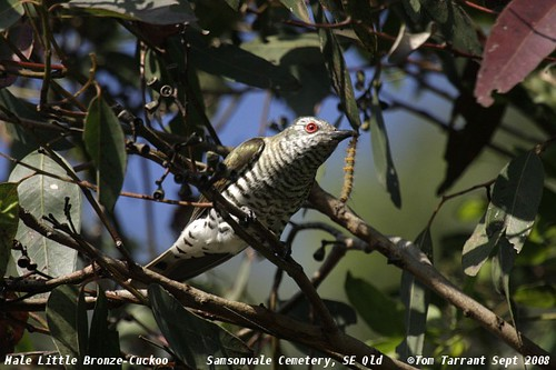 Male Little Bronze-Cuckoo (Chrysococcyx minutillus) by aviceda.