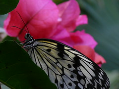 Prom Night (frazz46) Tags: flower macro nature butterfly vancouverisland bouganvillea coombs butterflyworld bccanada anawesomeshot anawsomeshot pdpnw infinestyle brillianteyejewel frazze46 rubyphotographer