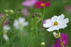 Purity (bluehazyjunem) Tags: pink autumn white early purple 2008 cosmos kinchakuda excellentsflowers natureselegantshots