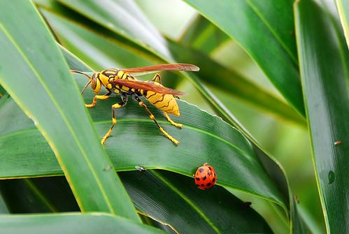黃長腳蜂&小十三星瓢蟲