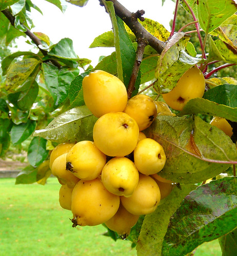 Apples in Auchincruive