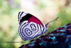 8 8 (Jesus Guzman-Moya) Tags: naturaleza macro nature mxico butterfly insect mexico interestingness 88 veracruz mariposa insecto texolo i500 chuchogm diaethriaclymena jessguzmnmoya diaethriaclymenabutterfly