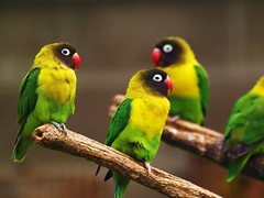Masked Lovebird, 01 (Andy von der Wurm) Tags: bird nature animal fauna germany deutschland parakeet masked lovebird allemagne avian tier vogel sittich kevelaer vogelpark blueribbonwinner bej schwarzkpfchen hobbyphotograph anawesomeshot avianexcellence eiap theunforgettablepictures adoublefave plantaria betterthangood itsazoooutthere colorsinourworld ubej naturescreations andreasfucke