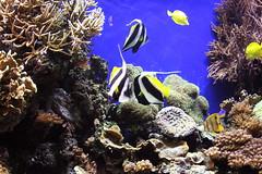 Coral Reef (The Wandering Angel) Tags: life california travel nature water beauty aquarium marine montereybayaquarium sealife