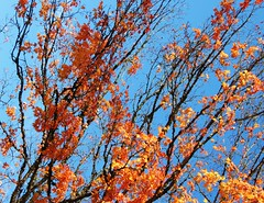 Tree on Fire (ashleigh290) Tags: blue autumn sky orange tree fall fire branch branches brisk treeonfire