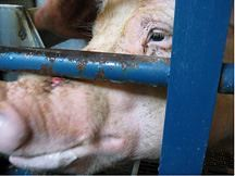 Kinship Circle - 2008-10-26 - Penalize Pig Torturers At Iowa Farm 01 by smiteme