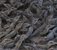 Crocodile nursery  bb33Fr (BB33FR) Tags: travel beautiful nice great cuba super crocodile 1001nights guama digitalcameraclub seetheworld golddragon rhombifer simplysuperb peninsuladezapata rubyphotographer qualitypixel bb33fr crocodilebabies bocadiguama flickaward flickraward