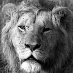masai lion - portrait