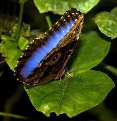 A flash of blue (Theresa Elvin) Tags: butterfly sheffield tropical bluemorpho tropicalbutterflyhouse naturesfinest abigfave northanston goldstaraward sheffieldbutterflycentre