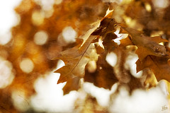 Crunchy Leafkeh (VickerMonkee) Tags: autumn tree fall texture leaf bokeh 85mm explore textured 85mmf18d i227 happybokehwednesday texturecourtesyof azazelle on11202008